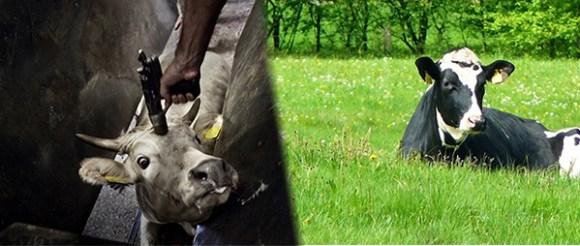 nao-ha-bem-estar-na-vida-dos-condenados-bem-estarismo-abolicionismo-bem-estar-animal-crítica-ética-animal-direitos-animais-camaleão-veganismo