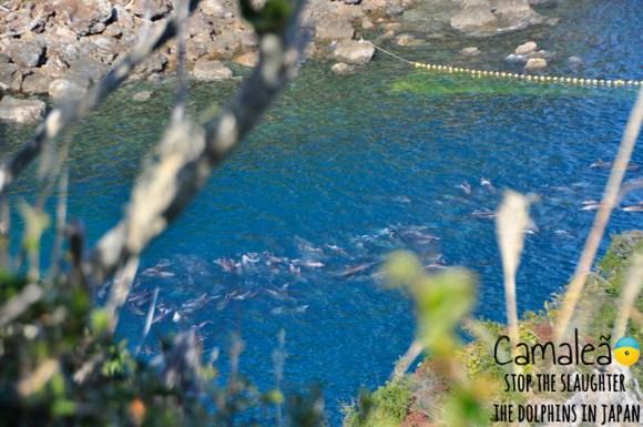aquarios-japoneses-vao-parar-de-adquirir-golfinhos-de-taiji-golfinhos-presos