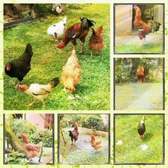 galinhas-galinhos-patinhas-estao-para-adocao-no-interior-de-sao-paulo-juquitiba-veganismo-direitos-animais-vegetarianismo