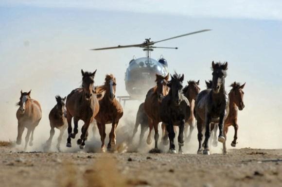 cavalos-selvagens-sao-capturados-e-mortos-pelo-governo-americano-obama-blm-cowspiracy