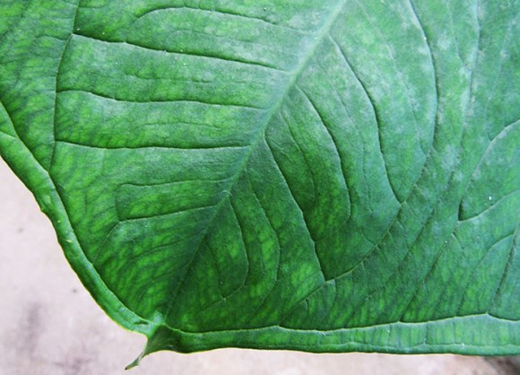 Xanthosoma-sagittifolium-calcio-fosforo-ferro-panc-agroecologico-organico-vegetais-saúde-ubatumirim-ubatuba-produtores
