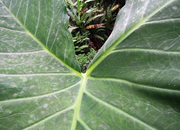 taioba-folha-planta-vegetal-nao-convencional-panc-receitas