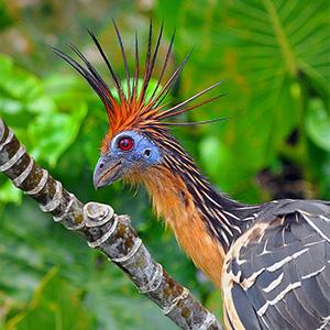 capa-por-que-sociedade-vegana-usa-uma-ave-como-representacao-cigana-jacu-Opisthocomus-hoazin