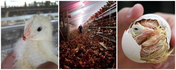 ovo-da-galinha-e-menstruacao-galinhas-soltas-free-range-cage-range-bem-estar-animal-vegetarianismo