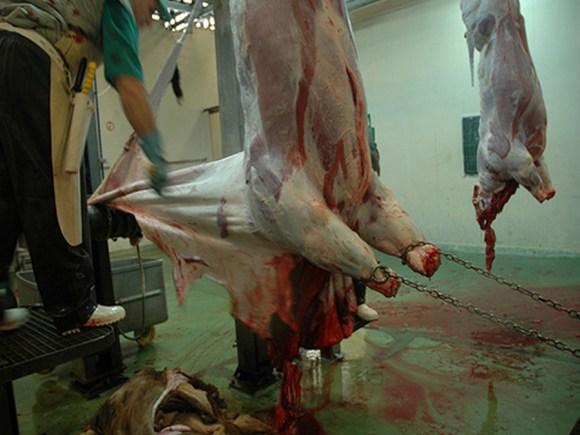 couro-matadouro-sem-carne-curtume-maus-tratos-animais-clandestino-brasil-vegetarianismo-pele-touradas-rodeio-portal-veganismo