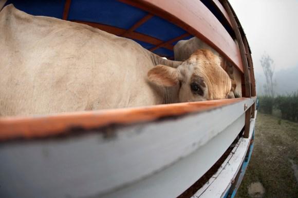 couro-maus-tratos-animais-matadouro-crueldade-portal-veganismo-direitos-animais-especismo-freeboi