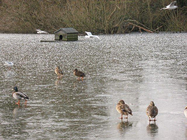 Ducks on a frozen pond