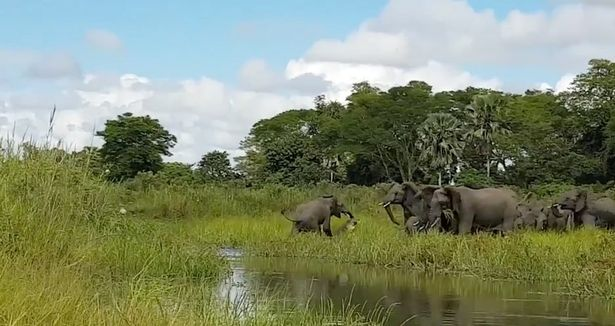Tourist Captures Shocking Moment Crocodile Ambushes Baby Elephant croc