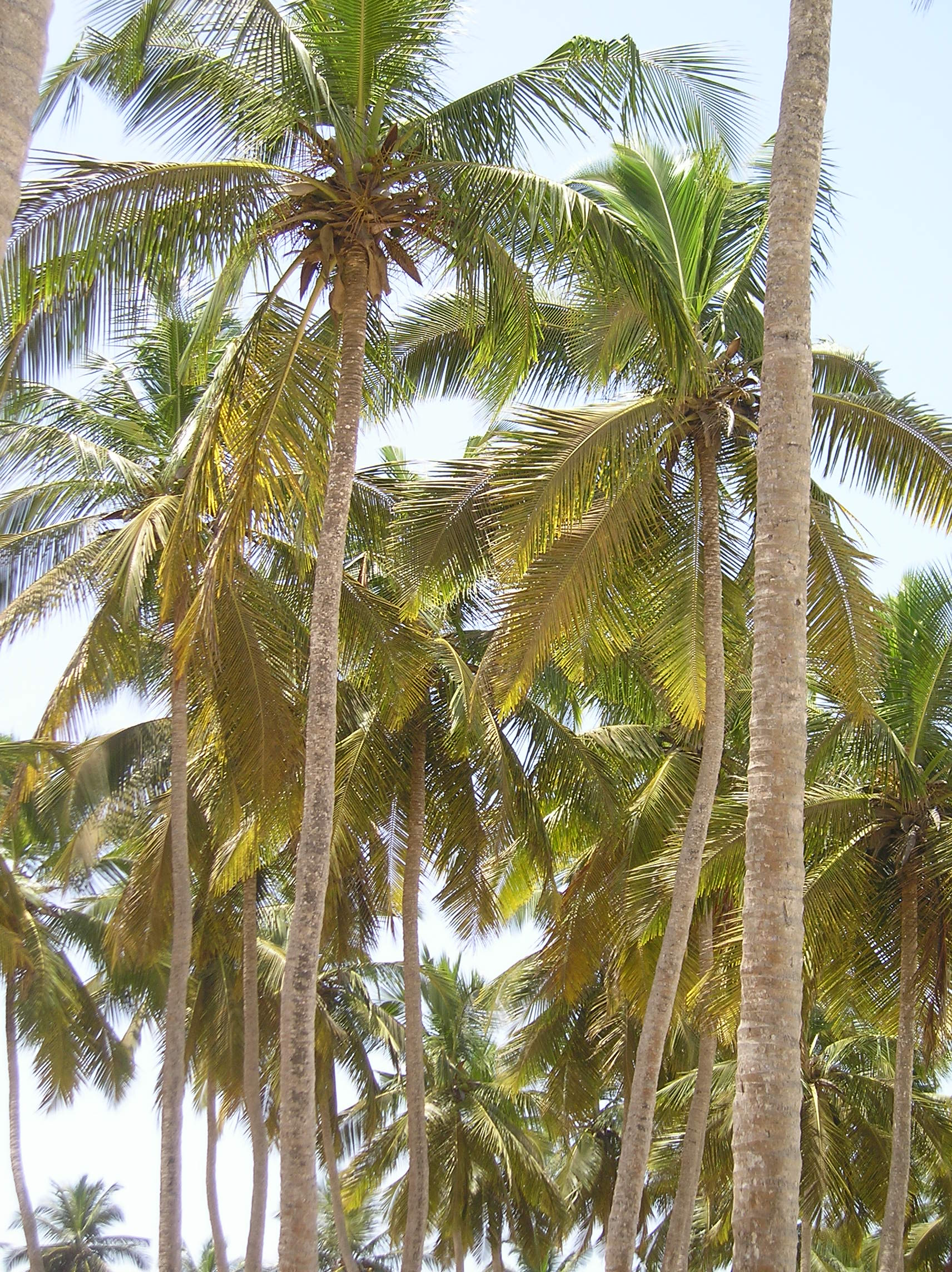 Large Patio Pots Trees