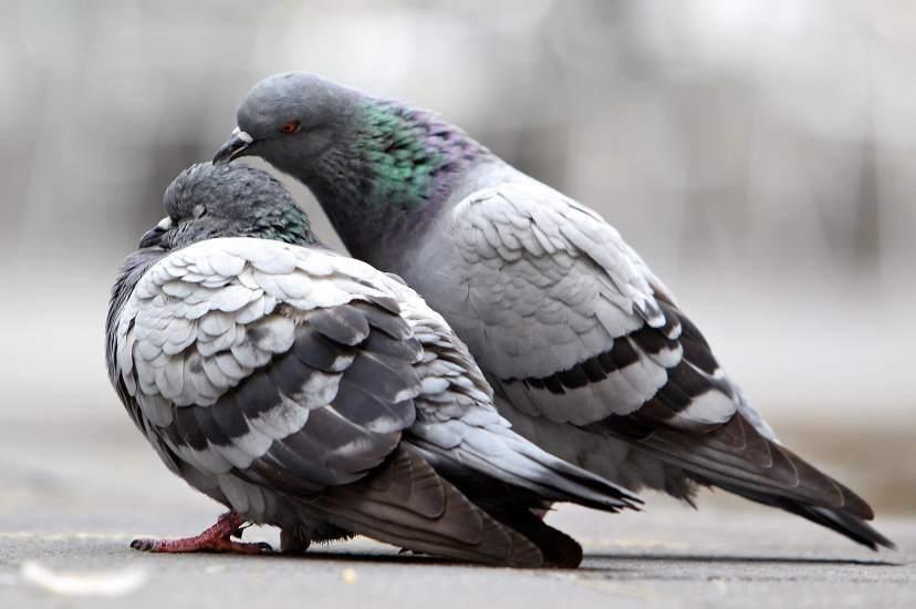 Foto de dos palomas