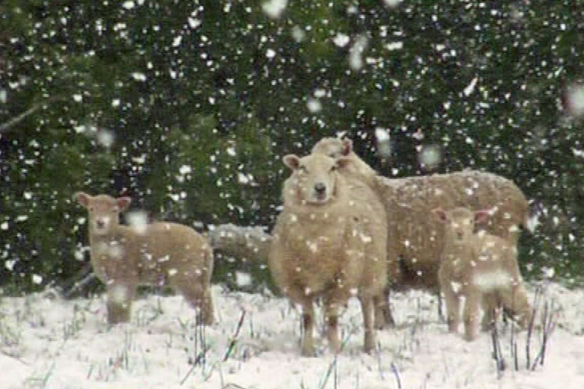 While the roads remained clear of any snow, ewes and lambs picked their way through the icy crust
