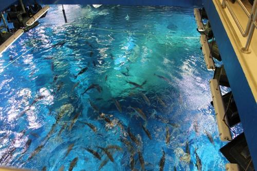 水族館の裏側で魚に餌付けをする体験コースを選択しました。<br /><br />これが水族館の裏側。<br />水槽を上からのぞいた所で、餌を投げ入れます。<br /><br />その後、英語で水族館の裏側を説明してくれます。