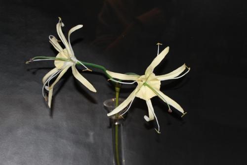 これが砂漠に咲く「ヒメノカリス」。<br />塔のデザインとなった花です。