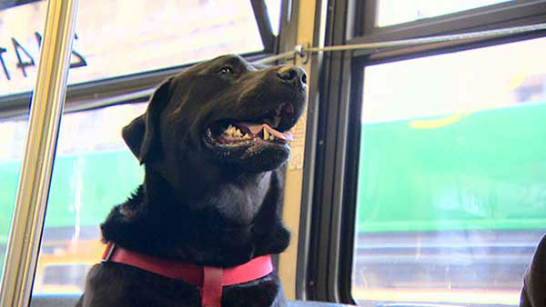 Eclipse, a black lab-gold mastiff mix, knows how to ride the D-Line in Seattle without her owner. <span class=meta>Photo/KOMO</span>