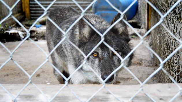 Wolf rescued by Houston SPCA flown to new home