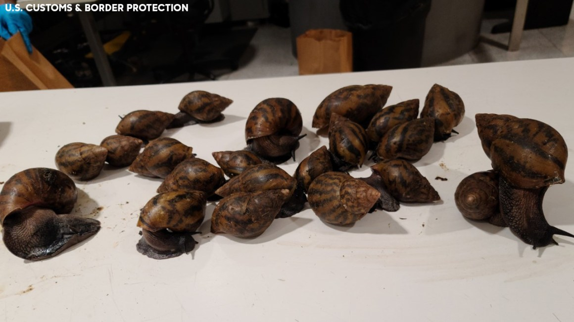 Invasive giant African snails found in luggage at JFK Airport: Officials
