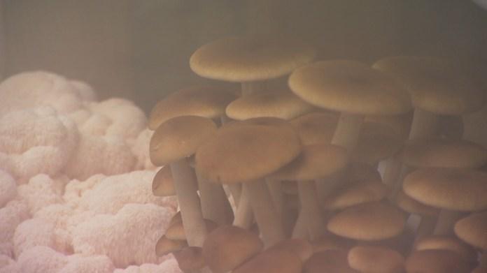 Farmer grows mushrooms inside 900 square-foot building