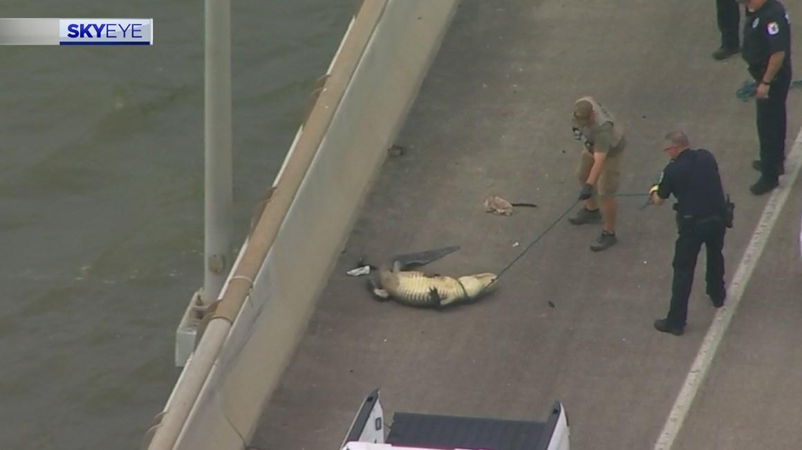 Alligator creates traffic delay on Fred Hartman Bridge