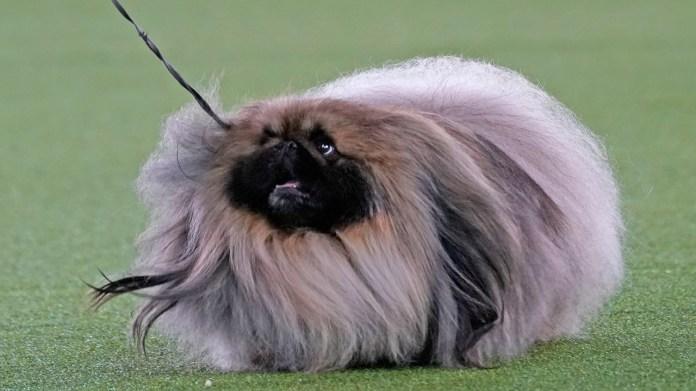 Wasabi the Pekingese wins Westminster dog show