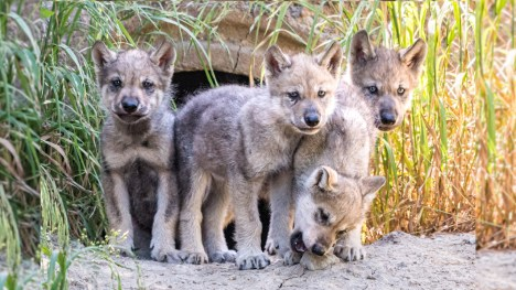 Adorable, 6-week-old wolf pups ready for visitors at Oakland Zoo ...
