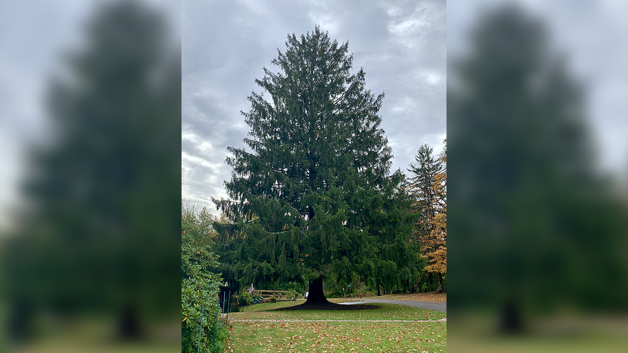 Rockefeller Center Christmas Tree Will Come From Florida New York Abc7 New York