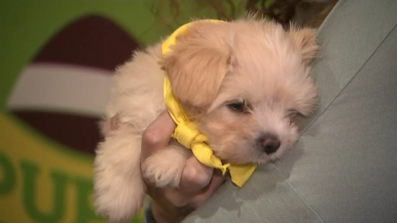 Naperville Bans Sale Of Dogs Cats From Commercial Breeders Beginning Next Year Abc7 Chicago
