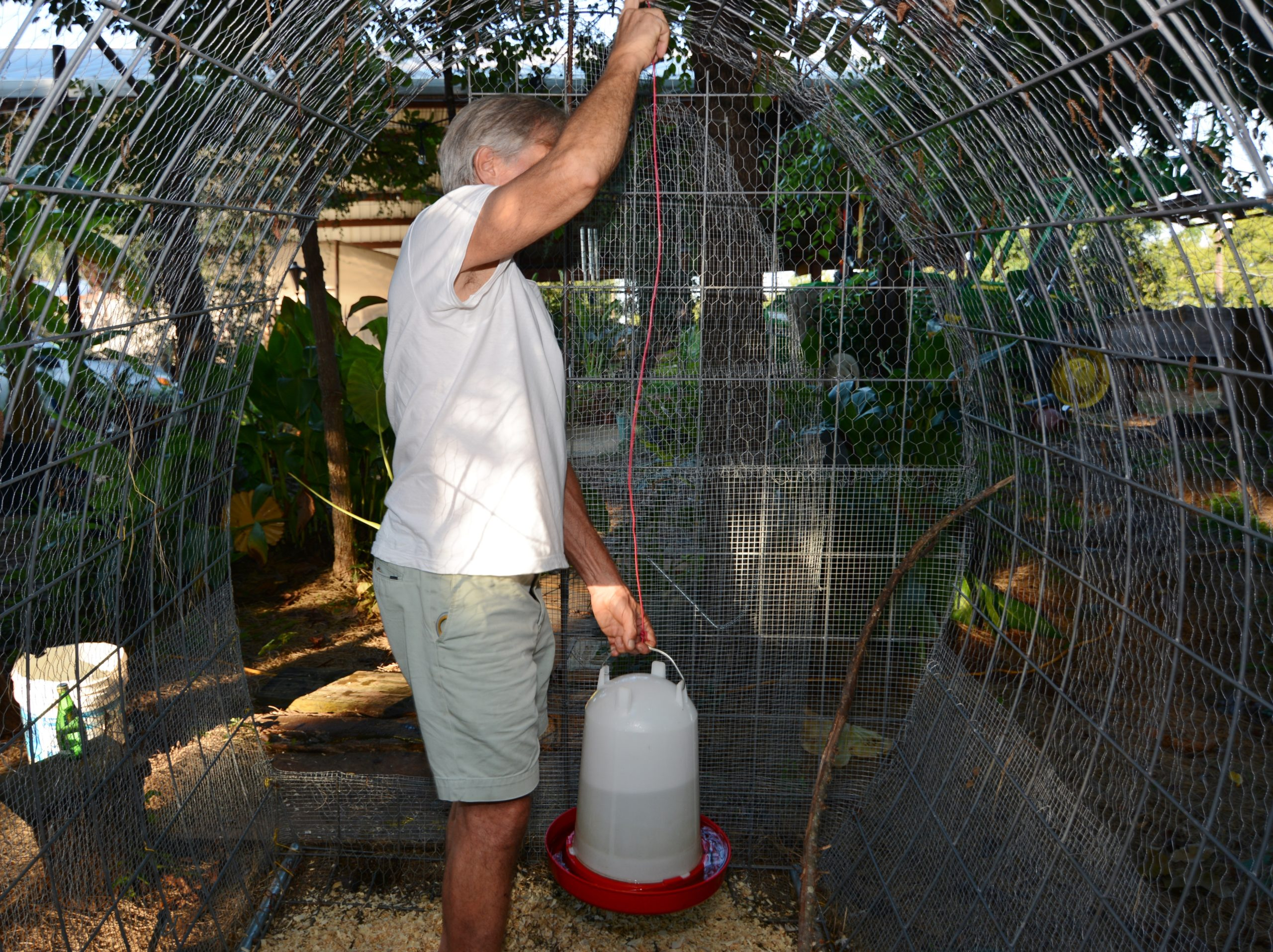 Backyard Poultry Producers Should Be Wary Of High Temperatures Agrilife Today