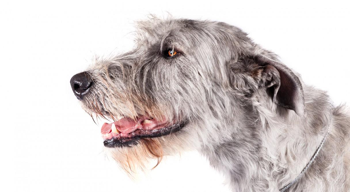 Irish Wolfhound Dog Breed Information American Kennel Club