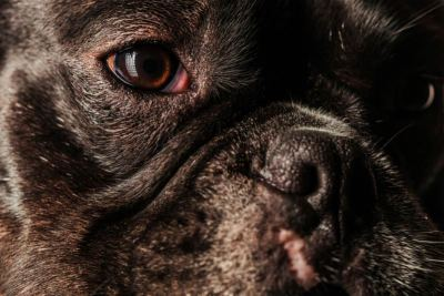 Close up of French Bulldog. night time seeing.