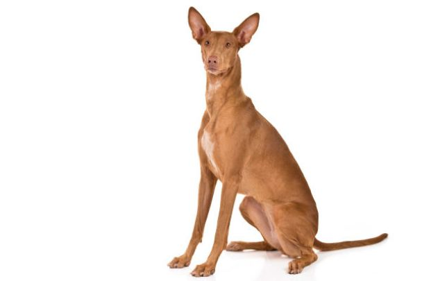 Image result for Pharaoh hound