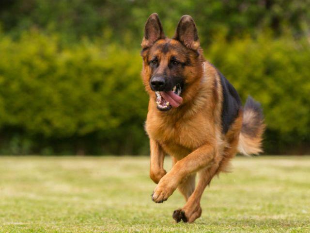 Hasil gambar untuk german shepherd dog