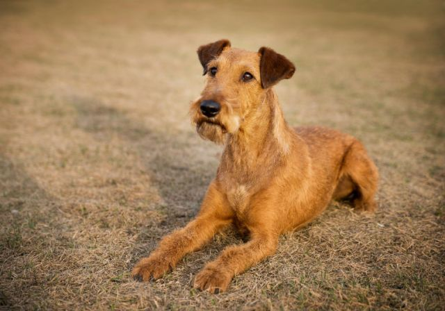 Image result for The Irish Terrier