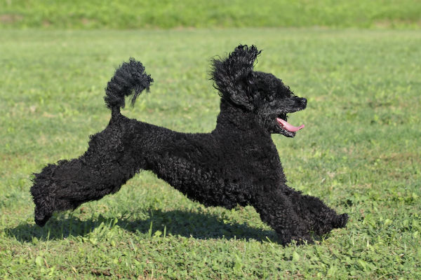 Most People Think Of Poodles When They Hear About Small Dogs That Don T Shed And With Good Reason Are Non Shedding Hypoallergenic