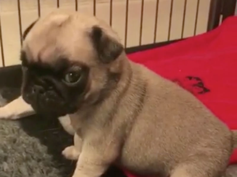 Precious Pug Puppies Test Out Their Pipes American Kennel Club