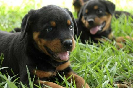 Tax Tips For Dog Breeders     American Kennel Club Dog Breeding As A Business