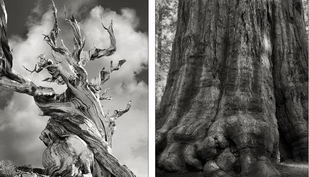 بقايا شجرة صنوبر وشجرة شيرمان في سييرا نيفادا بكاليفورنيا