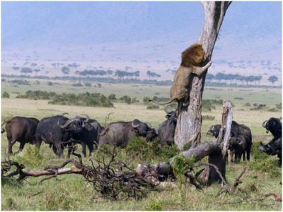 قطيع من الجاموس الغاضب يحاصر أسد
