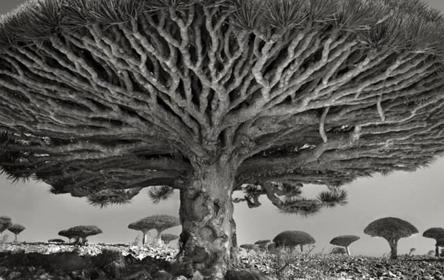 """شجرة """"دم العنقاء"""" في سقطرى، اليمن."""