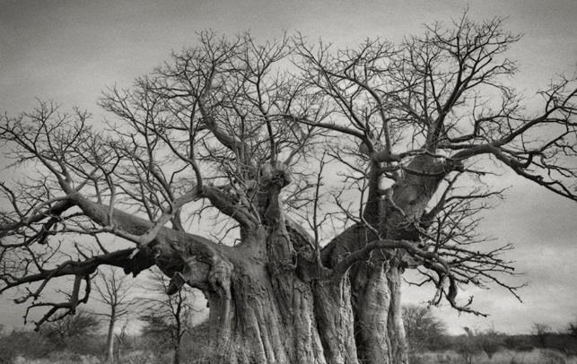 شجرة Bufflesdrift Baobab الواقعة بالقرب من Lephalale في ليمبوبو، ويصل عمرها لنحو الـ 800 عام