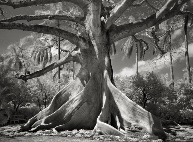 """شجرة kapok """"قابوق خماسي الأسدي"""" في بالم بيتش في فلوريدا."""