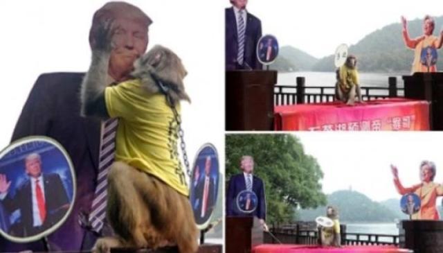 القرد الصيني يختار الفائز بانتخابات الرئاسة الأمريكية