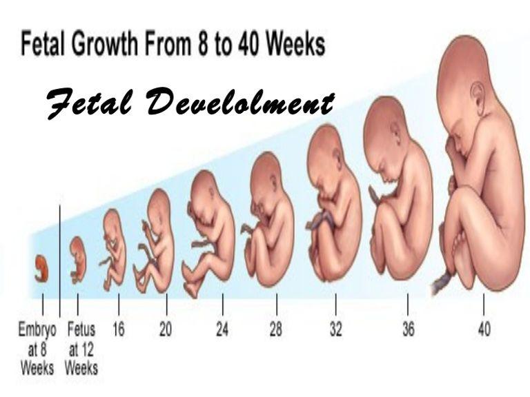 مراحل تكون الجنين في بطن امه
