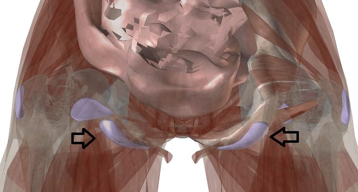 坐骨の滑液包の解剖図