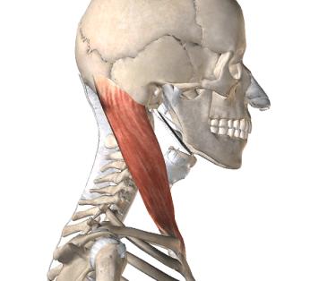 胸鎖乳突筋の解剖図