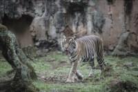 Harimau Sumatra terpapar COVID-19 – ANTARA News Bali