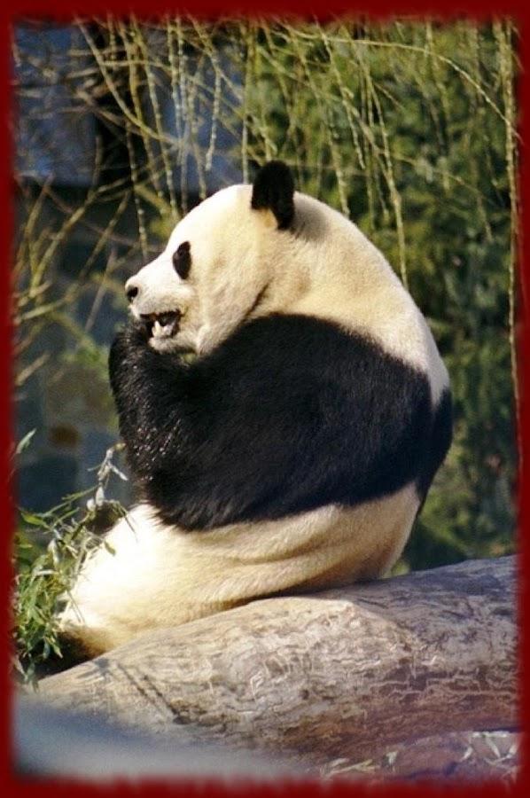 Panda Bears Wallpapers