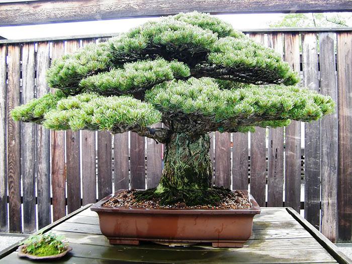 AD-Amazing-Bonsai-Trees-02
