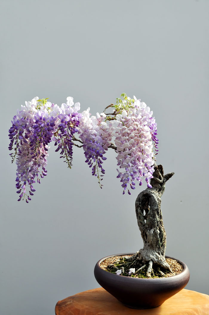 AD-Amazing-Bonsai-Trees-11