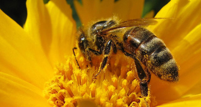 Honeybee Polinating Flower