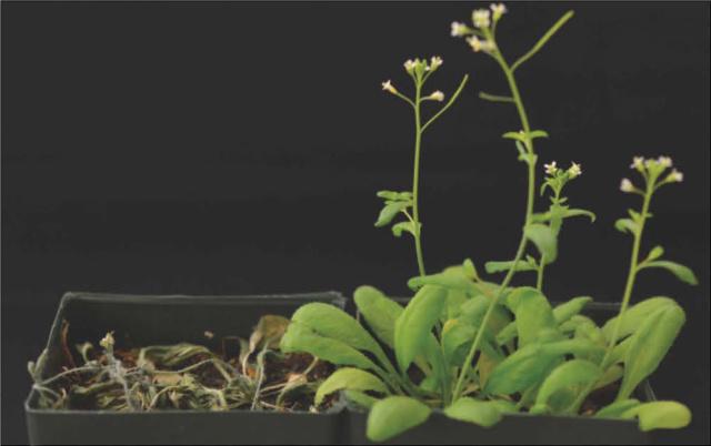 Planta normal (izquierda) y mutante (derecha) después de ser regadas  tras 12 días sin agua.